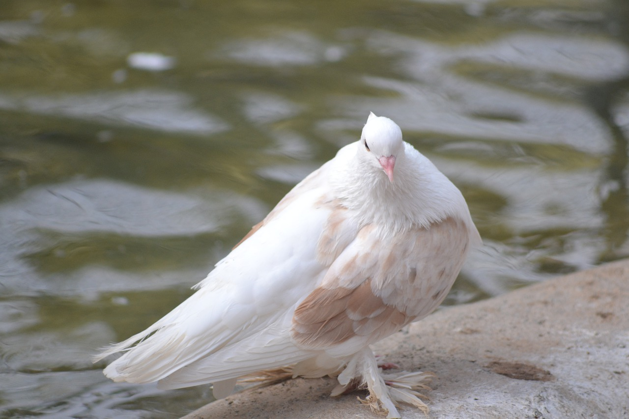 Pigeon Dove Bird Animal White Dove  - jobinjoseph / Pixabay